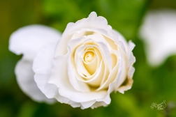 A silky white rose.